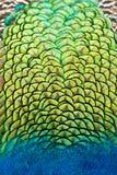 Colores vibrantes del plumaje del pavo real Fotografía de archivo