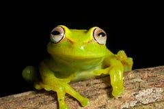 Colores vivos brillantes de la rana arbórea hermosa del Amazonas Fotos de archivo