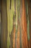 Colores vivos de los colores vivos del árbol de eucalipto del arco iris Fotografía de archivo libre de regalías