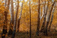 Colores vivos del bosque del abedul del otoño Fotos de archivo libres de regalías