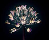Colorez la fleur en verre d'isolement sur le noir, l'Agapanthus de Bell Photographie stock libre de droits
