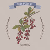 Colorez le croquis vulgaris de berbéris commun de Berberis aka illustration stock