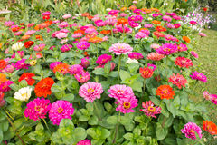 Colorfu de fleur de Gerbera photographie stock