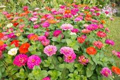 Colorfu del fiore della gerbera Fotografia Stock
