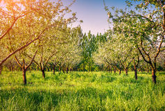 Colorfu spring morning in blossom apples garden Royalty Free Stock Image
