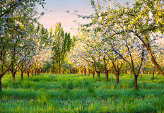 Colorfu spring morning in blossom apples garden Stock Photos