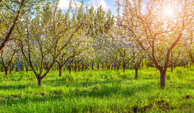 Colorfu spring morning in blossom apples garden Royalty Free Stock Photo