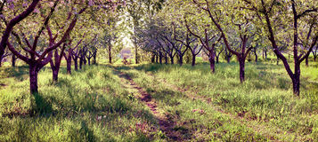 Colorfu spring morning in the blossom apples garden. Retro style Royalty Free Stock Photography