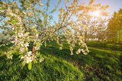 Colorfu spring morning in the blossom apples garden. Wide angle Stock Images