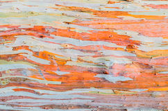 Colorful abstract pattern texture of Eucalyptus tree bark Stock Image