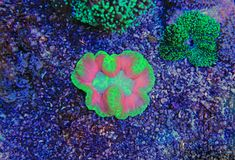 Colorful Acropora SPS coral in reef aquarium tank. In saltwater reef aquarium tank, underwater macro shot Royalty Free Stock Photos