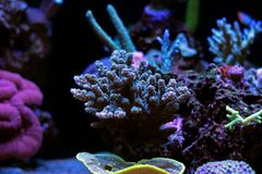 Colorful Acropora SPS coral in reef aquarium tank stock photography
