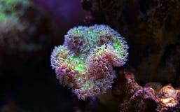 Colorful Acropora SPS coral in reef aquarium tank. In saltwater reef aquarium tank, underwater macro shot stock photos