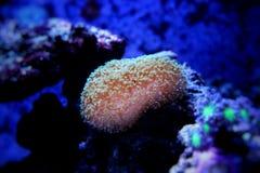 Colorful Acropora SPS coral in reef aquarium tank. In saltwater reef aquarium tank, underwater macro shot stock photo