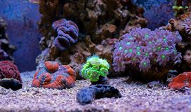 Colorful Acropora SPS coral in reef aquarium tank stock photo