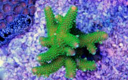Colorful Acropora SPS coral in reef aquarium tank. In saltwater reef aquarium tank, underwater macro shot Stock Images