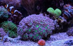 Colorful Acropora SPS coral in reef aquarium tank. In saltwater reef aquarium tank, underwater macro shot Royalty Free Stock Image