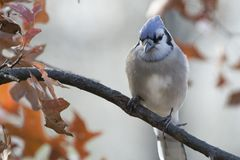 Adult blue jay cyanocitta cristata. Colorful adult blue jay cyanocitta cristata perched on a tree branch on a background of colorful oak leaves Royalty Free Stock Image