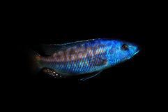 Colorful African cichlid Stock Photography