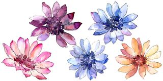 Colorful african daisy. Floral botanical flower. Isolated illustration element. Aquarelle wildflower for background, texture, wrapper pattern, frame or border Royalty Free Stock Images