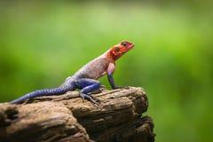 Colorful Agama Stock Photo