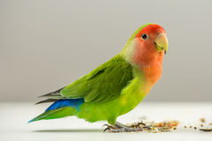 Colorful agapornis Royalty Free Stock Photography