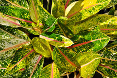 Colorful of the Aglaonema leaf Royalty Free Stock Photos