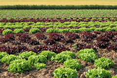 Colorful agriculture. Salad with cabbage and wheat in the background Stock Photo