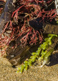 Colorful alga Stock Images