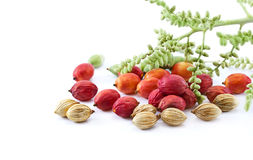 Colorful all palm seeds three style, old young and baby on white background Stock Photo