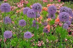 Colorful allium and azaleas Royalty Free Stock Photography