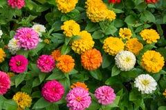 Colorful allium chrysanthemum dahlia Royalty Free Stock Photos