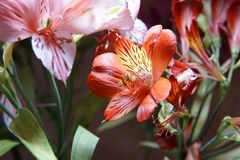 Colorful Alstroemeria flowers. A large bouquet of multi-colored alstroemerias stock image