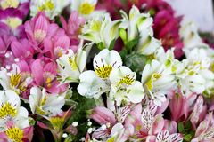Colorful Alstroemeria flowers. A large bouquet of multi-colored alstroemerias in the flower shop are sold in the form of a gift bo. X. The farmer`s market. Close royalty free stock photography