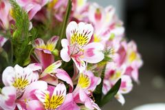 Colorful Alstroemeria flowers. A large bouquet of multi-colored alstroemerias in the flower shop are sold in the form of a gift bo. X. Close up royalty free stock photo