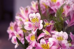 Colorful Alstroemeria flowers. A large bouquet of multi-colored alstroemerias in the flower shop are sold in the form of a gift bo. X. Close up royalty free stock images