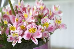Colorful Alstroemeria flowers. A large bouquet of multi-colored alstroemerias in the flower shop are sold in the form of a gift bo. X royalty free stock image