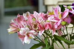 Colorful Alstroemeria flowers. A large bouquet of multi-colored alstroemerias in the flower shop are sold in the form of a gift bo. X royalty free stock photography