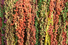Colorful Amaranth. To decorate with flower Stock Image