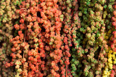 Colorful Amaranth Stock Photo