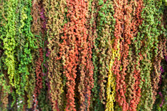 Colorful Amaranth Royalty Free Stock Image