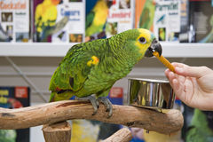 Amazon Parrot in a Petstore Stock Photos