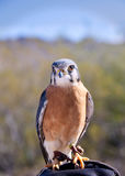 Colorful American Kestrel Sparrowhawk Stock Photos