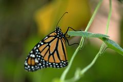 American Monarch Butterfly. A colorful American Monarch Butterfly royalty free stock photography