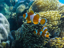colorful anemone fish royalty free stock photo
