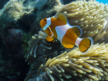 colorful anemone fish indonesia royalty free stock image