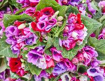 Colorful anemone flowers closeup Royalty Free Stock Photo