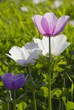 Colorful Anemone flowers in the spring field Royalty Free Stock Photography