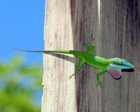 Colorful Anole. Image of blue-headed anole taken in Roatan, Honduras stock photo