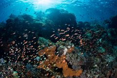 Colorful Fish and Beautiful Coral Reef. Colorful anthias swim over a gorgeous coral reef near Alor, Indonesia. This remote, tropical area is part of the Coral Royalty Free Stock Image